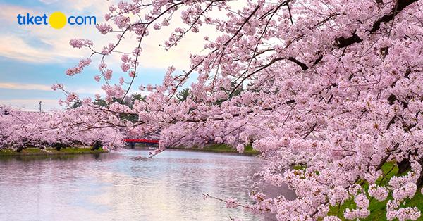 5 Fakta Menarik Tradisi Hanami Di Jepang Tiket Com