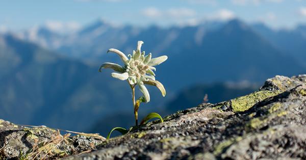 Fakta Bunga Edelweis - Disebut Bunga Abadi