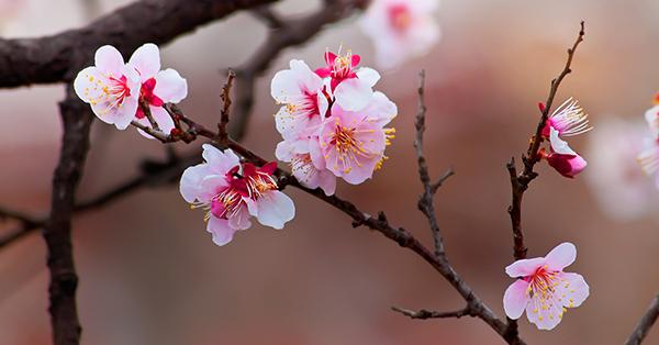 Makna Bunga Sakura