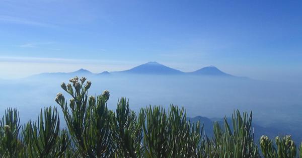 Fakta Bunga Edelweis - Hanya Terdapat di Sekitar Pegunungan