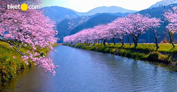 Tempat Melihat Bunga Sakura