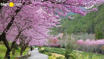 jadwal mekar bunga sakura di jepang