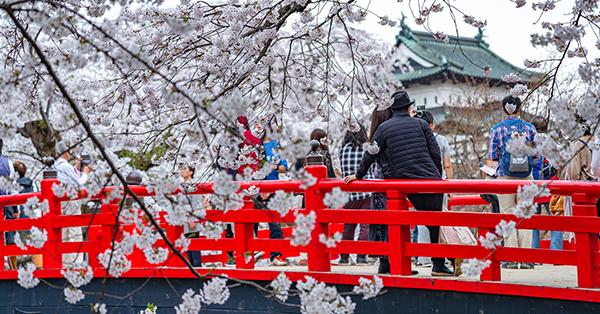 Tempat Melihat Bunga Sakura - Kastil Hirosaki
