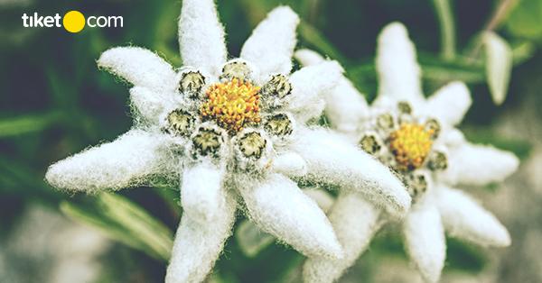 Tidak Boleh Dipetik Ini Fakta Bunga Edelweis Si Bunga Abadi
